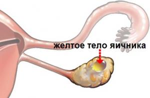 желтое тело яичника